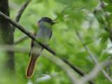 Flycatcher, Asian Paradise