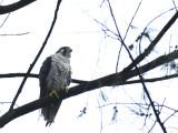 Falcon, Peregrine