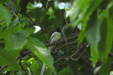 Flycatcher, Asian Paradise (Male)