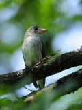 Flycatcher, Asian Brown