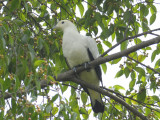 Pigeon, Pied Imperial