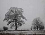 trees in snowfall (shrewsbury)