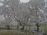 ice trees. (stiperstones)