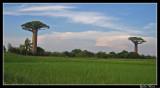 Morondava et l'allée des baobabs