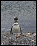 Île des pingüinos