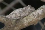 Gray Tree Frog 5