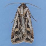 10670 Dingy Cutworm - Feltia jaculifera