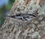 Black-and-white Warbler male