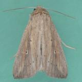 10455 Scirpus Wainscot - Leucania scirpicola