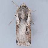 10914 Hemieuxoa Moth – Hemieuxoa rudens