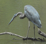 Great Blue Heron and Dragonfly    14:40:13
