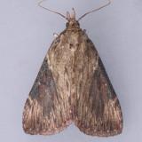 5625 Omphalocera cariosa