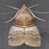 5604 Sycamore Webworm Moth – Pococera militella