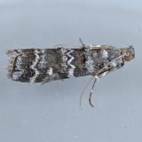5853  Southern Pine Coneworm  – Dioryctria amatella