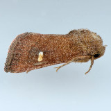 10628 - Tricholita notata