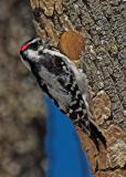 March 24 - Downy Woodpecker male