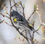 Yellow-rumped Warbler - Myrtle female