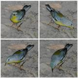 Northern Parula 1st year coloring