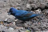 Indigo Bunting male - overcast day 1