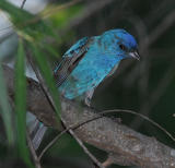 Indigo Bunting male - flash 2