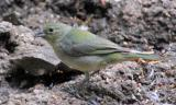 Painted Bunting - overcast day 2