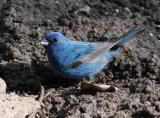 Indigo Bunting male - sunlight 2
