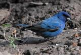 Indigo Bunting male - sunlight 1