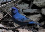 Indigo Bunting Male - mixed shade 2