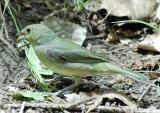 Painted Bunting - sunlight 2