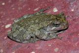 Gray Tree Frog 3