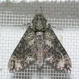 7784 Pawpaw Sphinx - Dolba hyloeus