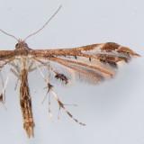 Pterophoridae - Drepanoidea (6089 - 6255)