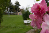 pink flowers in Marbach