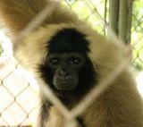 Caged Monkey.