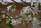 Adobe and white blossoms