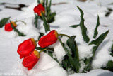 Red tulips in snow