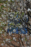 White blossoms against blue window