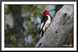 red_headed_woodpeckers