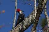 Pileated Woodpecker2 111108.jpg