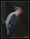 red_bellied_woodpeckers