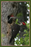 Pileated Woodpecker with babies.jpg