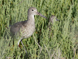Willet with baby