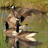 Canada Goose Trio