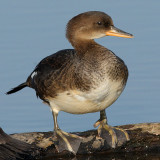 Hooded Merganser - Juvenile