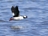 Bufflehead on the Wing
