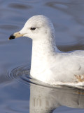 Ring-billed Gull Close-up