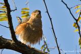 Sparviere  (Accipiter nisus)