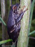 Raganella (Hyla arborea)