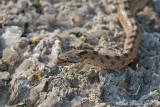 Colubro dei riccioli (Coronella girondica)