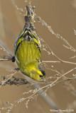 Lucherìno (Carduelis spinus)